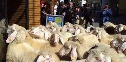 Owce napadły na sklep z nartami