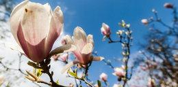 Magnolie zakwitły w Arboretum Kórnickim
