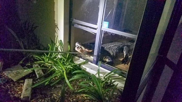 aligator florida