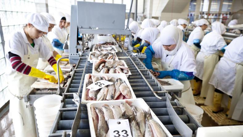 Filetowanie śledzi w przetwórni rybnej w Scheveningen