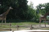 Merkat u položaju žirafe