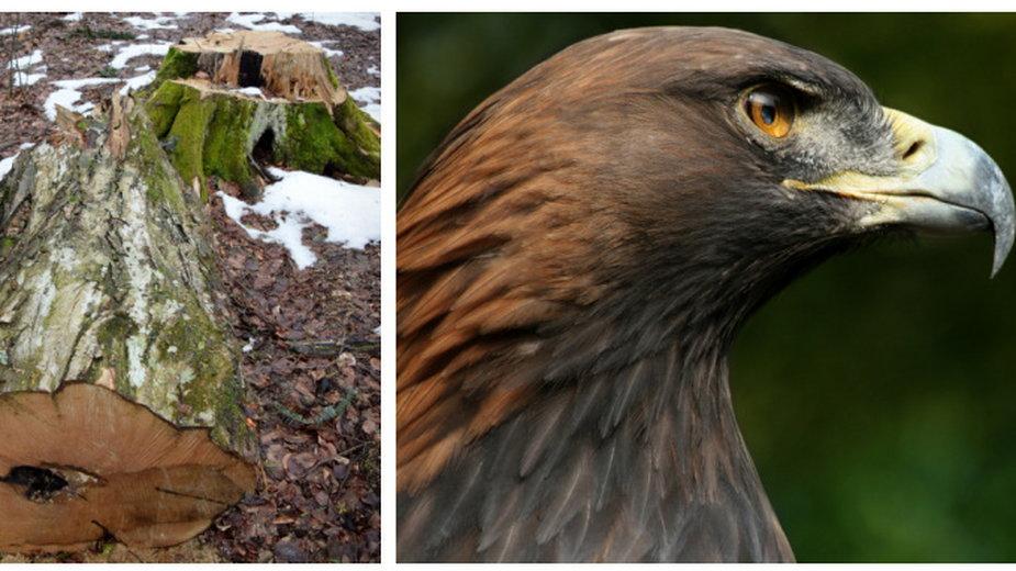 Jak wskazują eksperci KOO, jednym z największych zagrożeń dla populacji orła przedniego jest wycinka starodrzewów w miejscach stanowiących ostoje gatunku.