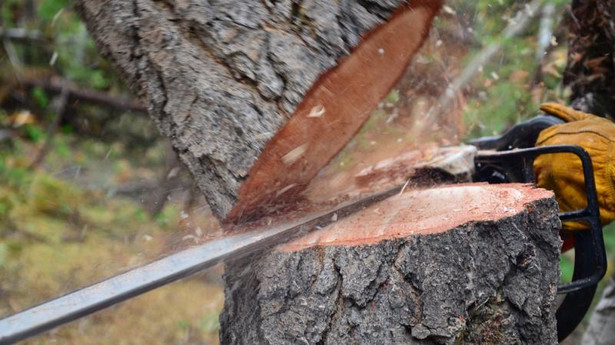 Samorządowcy proponują dodanie do noweli przepisu, że uproszczona procedura zgłoszenia wycinki nie będzie mogła być stosowana do drzew rosnących na terenach zabytkowych