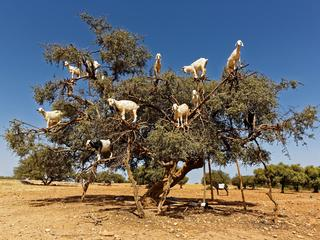 Argan trees and the goats on the way between Marrakesh and Essaouira in Morocco.Argan Oil is produce