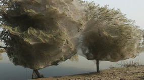 Pająki na Tasmanii budują gigantyczne sieci, by schronić się przed powodzią