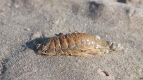 Wszy morskie dotkliwie pogryzły Australijczyka. Czy można je spotkać w Bałtyku?