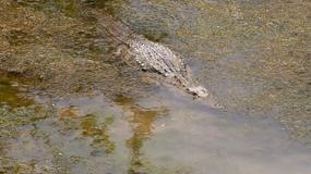 Grecja: Krokodyl na Krecie. Trwa obława na gada