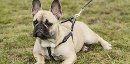 Pies na smyczy czy bez smyczy? Sąd wydał wyrok
