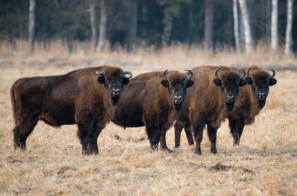 Evropski bizoni