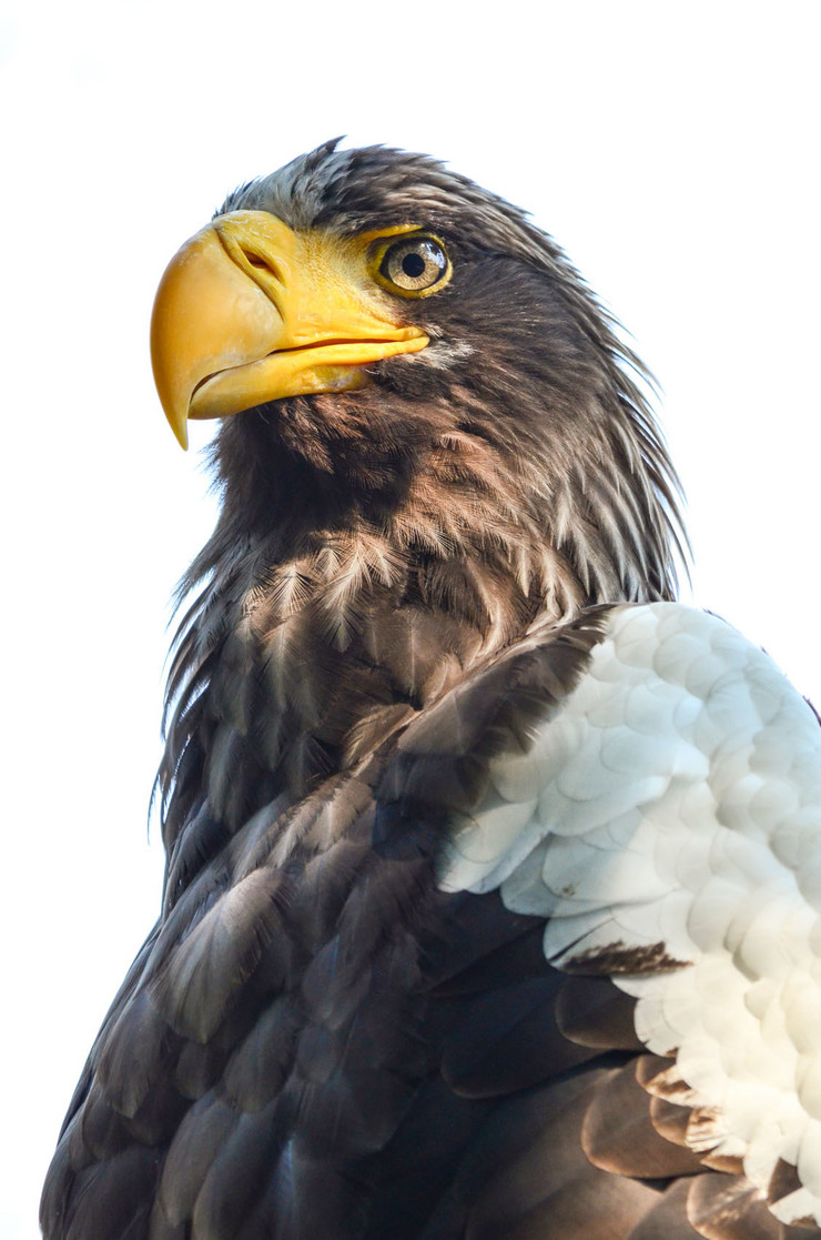 stock-photo-close-up-view-of-eastern-imperial-eagle-or-aquila-heliaca-183266843