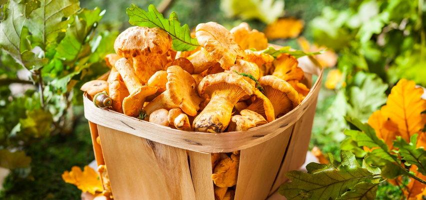 Sezon na kurki – jak je zbierać, czyścić, przygotowywać. Wszystko, co trzeba o nich wiedzieć!