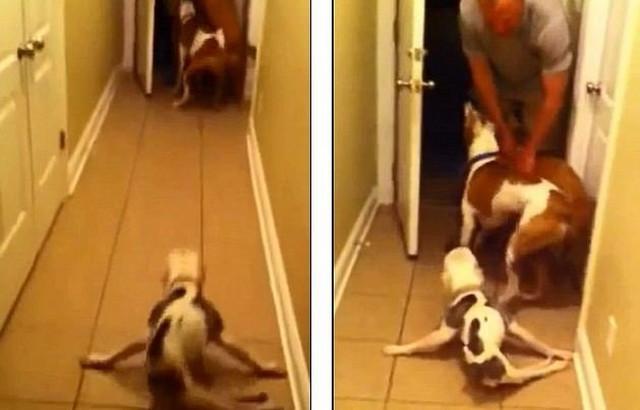 Mada daleko zaostaje za drugarima, Ema se samo snagom prednjih nogu vuče preko hodnika da bi piozdravial vlasnikov povratak