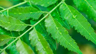 Neem tree: 3 ways to use this plant to cure dandruff in the hair