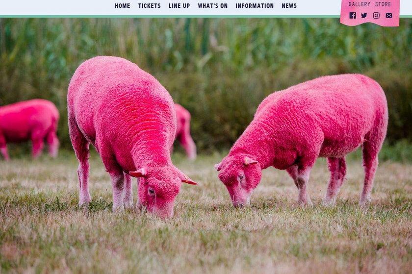 Festiwal, Latitude, owce, różowy