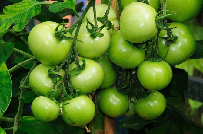 Tek velika količina zelenog paradajza može dovesti do ozbiljnijih zdravstvenih problema