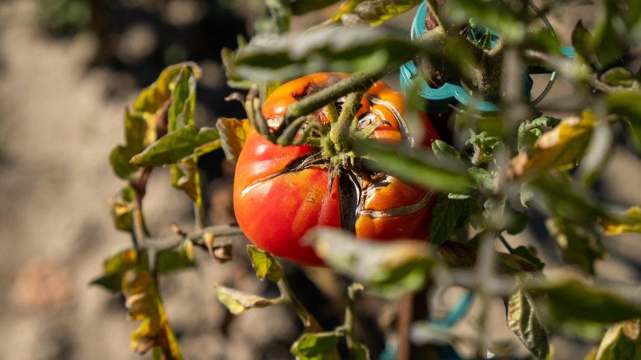 Niektóre choroby pomidorów mogą zniszczyć całe uprawy - DEWI-Stockphotos/stock.adobe.com