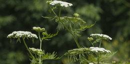 Uwaga! Te cztery rośliny mogą cię zabić. Występują w Polsce!