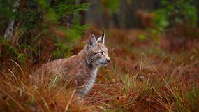 #PiątkaDlaRysia - akcja kanału Nat Geo Wild i WWF Polska na rzecz rysia nizinnego