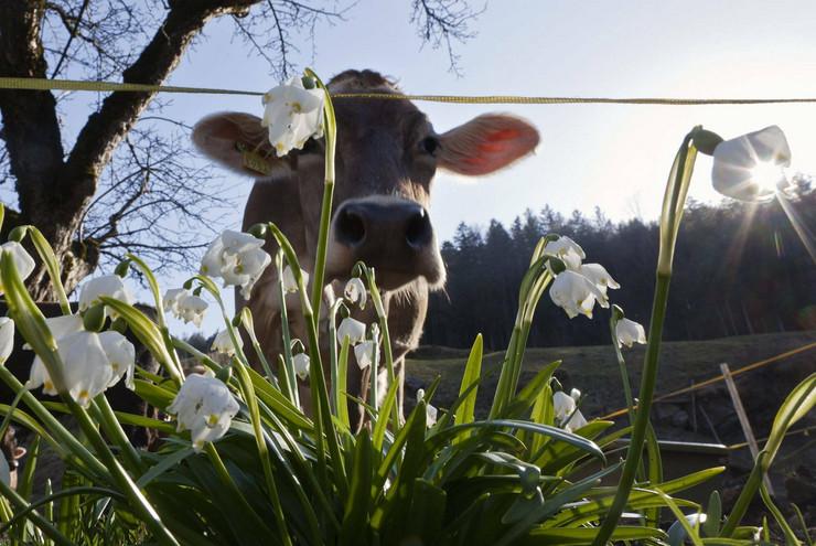227490_svajcarska-krava-prolece-ap