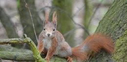 Wiewiórki szaleją w parkach!