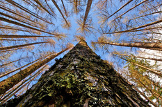 najlepše drveće10 European Larch foto Flickr Bernard Spragg. NZ
