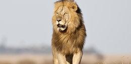 Te lwy nie polują i są homoseksualne