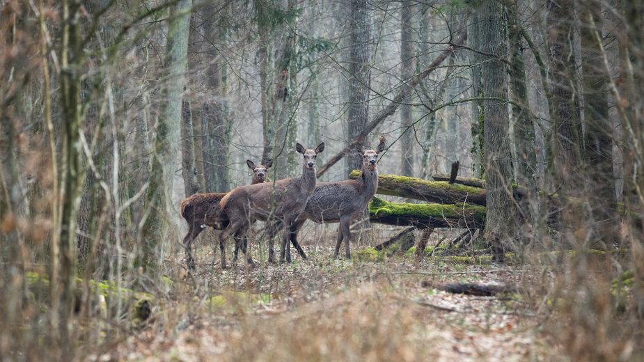 Łanie jelenia szlachetnego (zdjęcie ilustracyjne)