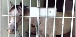 Policjanci aresztowali ... konia. Czym im podpadł?