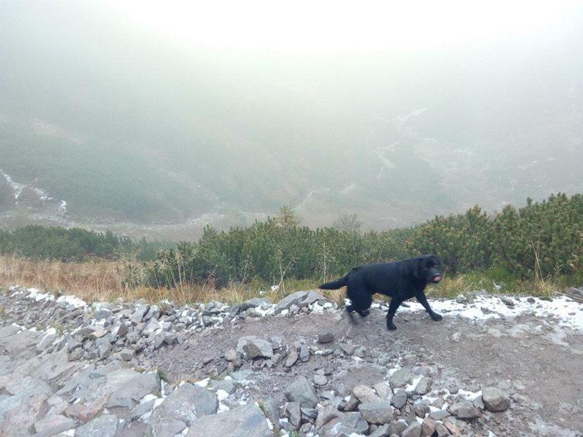 Na Giewoncie został znaleziony czarny labrador