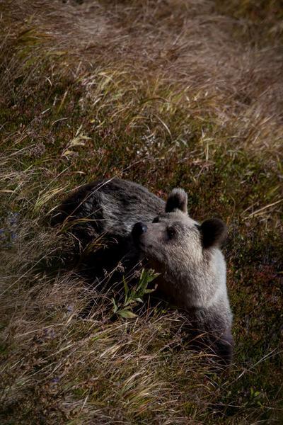 Niedźwiedź, Tatrzański Park Narodowy