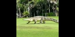 Bestia wśród dżentelmenów! Krokodyl wpadł na golfa