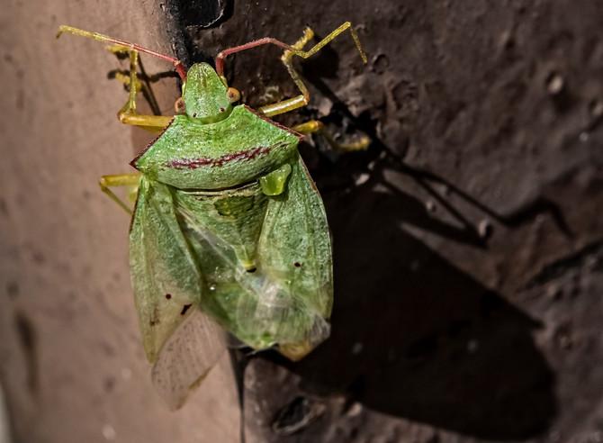 Zelena smrdibuba