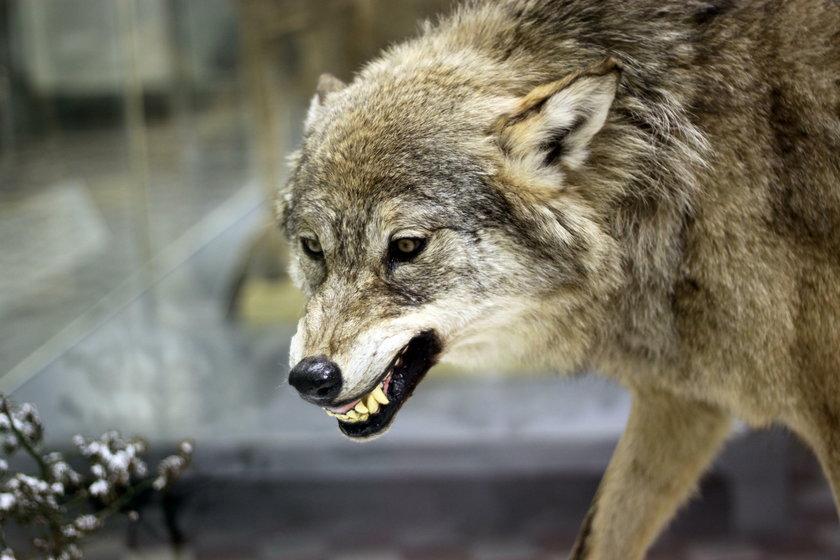 Ocalał po ataku wilków!