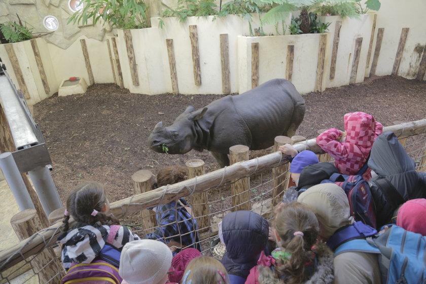 Nosorożec indyjski we wrocławskim zoo