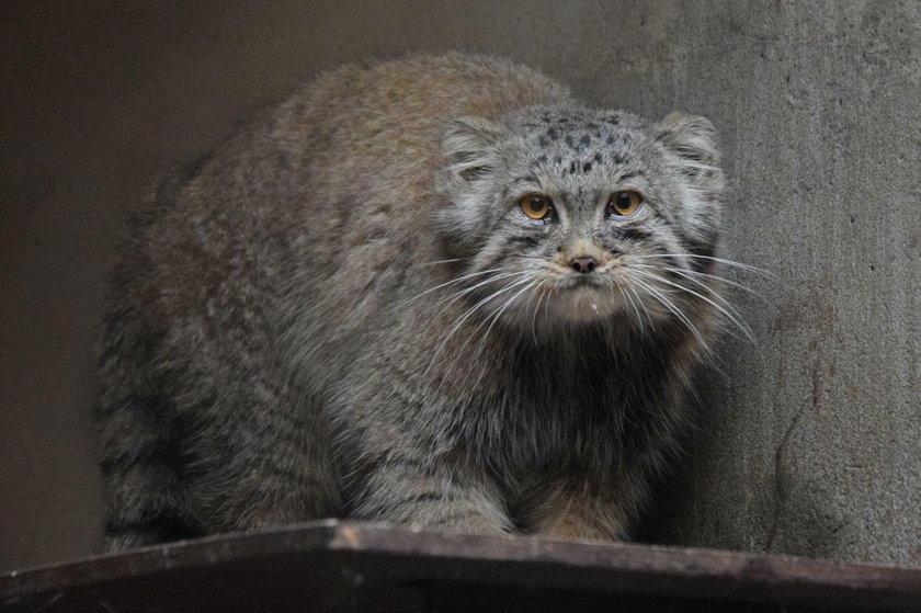 Manul ucienikier wrócił do poznańskiego zoo