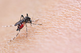 komarci, komarac