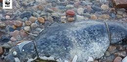 Kto zabija foki nad Bałtykiem? Jest wysoka nagroda