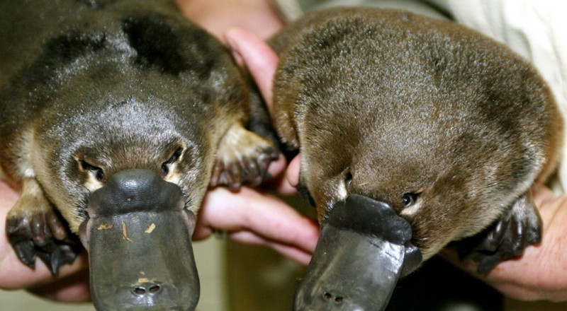 Climate change pushing Australia's platypus towards extinction: researchers