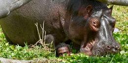 Hipopotam rzucił się na rybaka!