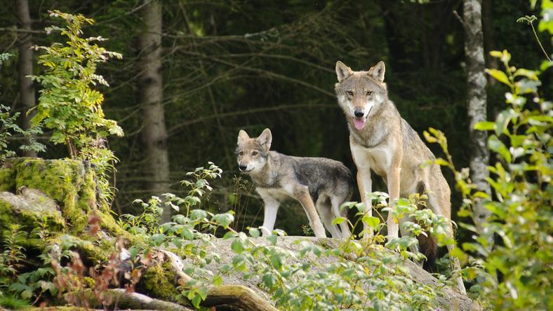 Trzylatek pogryziony przez wilka w zoo