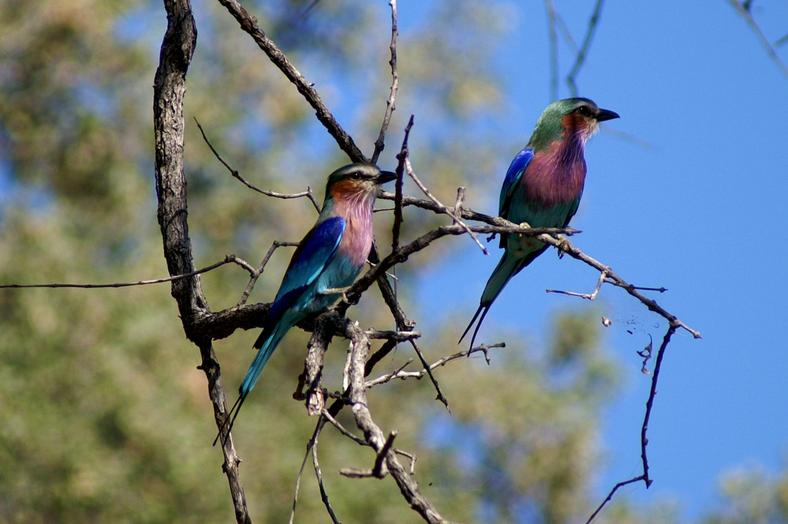 Two Lilac-breasted Roller sitting in a tree