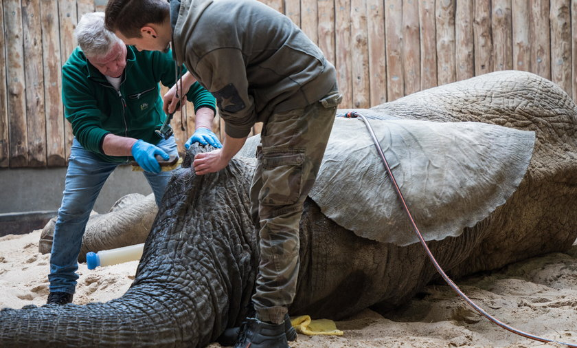 Słoń z poznańskiego zoo przeszedł operację