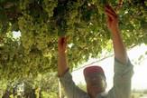 Vinograd, EPA - PETRA