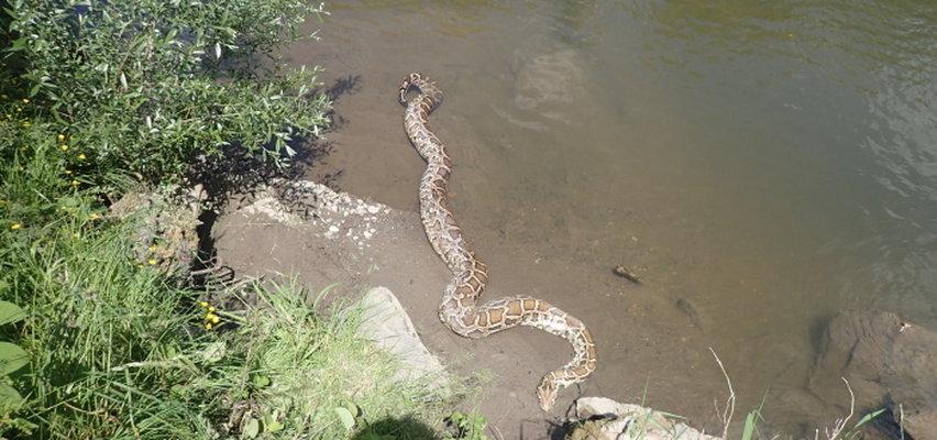 Wyłowili pytona z rzeki. Miał 6 metrów i ważył około 50 kilogramów