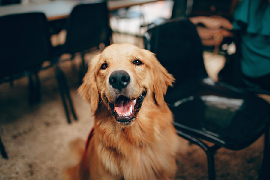 Golden Retreiver / Helena Lopes Pexels