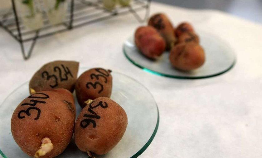 ziemniaki, naukowcy
