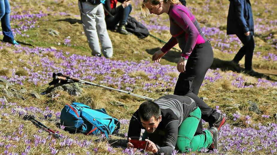 Turystom w tatrach zdarza się, że chcąc zrobić najlepsze zdjęcie depczą kwitnące krokusy. (zdjęcie ilustracyjne)