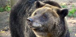 Niedźwiedzica wykopała to z ziemi. Wezwano wojsko