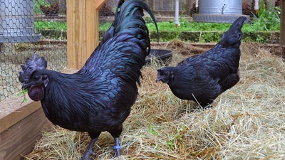World's most expensive chicken costs $2,500