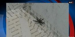 Tarantula na pokładzie samolotu